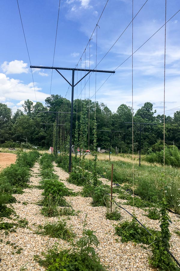 Hops growing up a telephone wire at Jackie O's Farm in Athens, OH